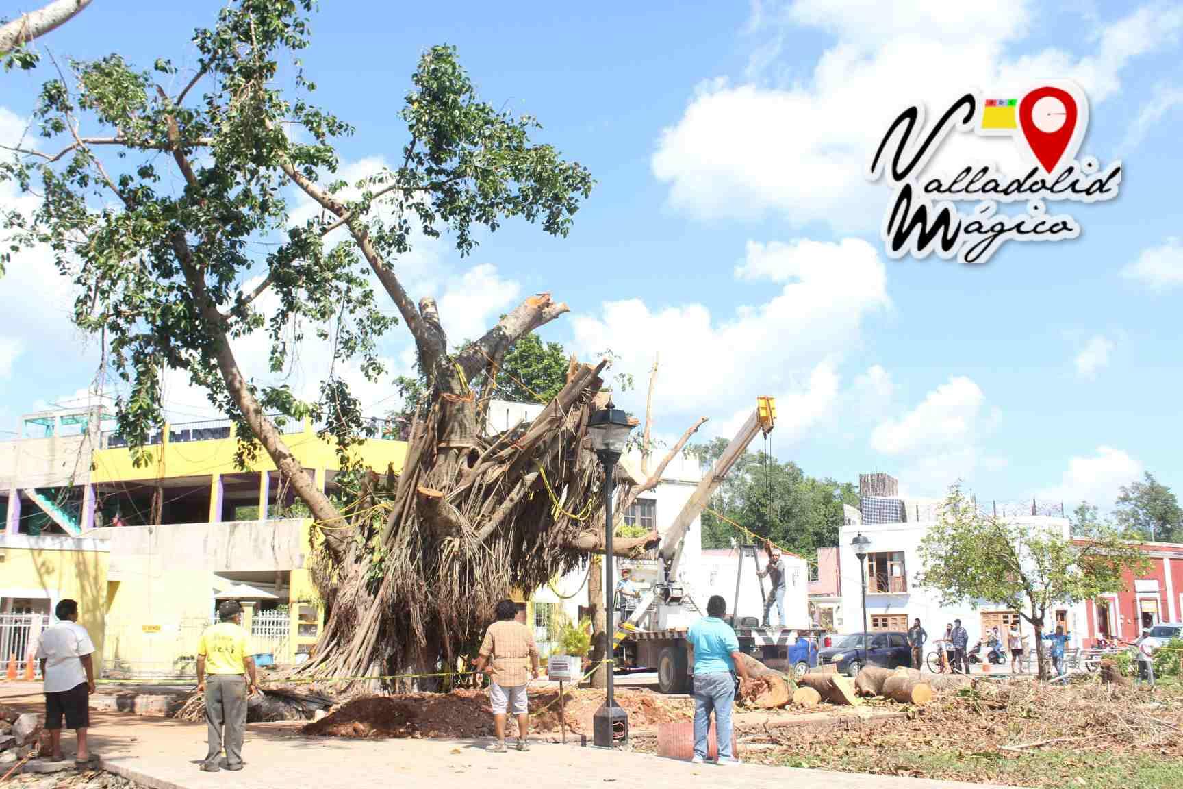 Suma de voluntades para rescatar árbol emblemático